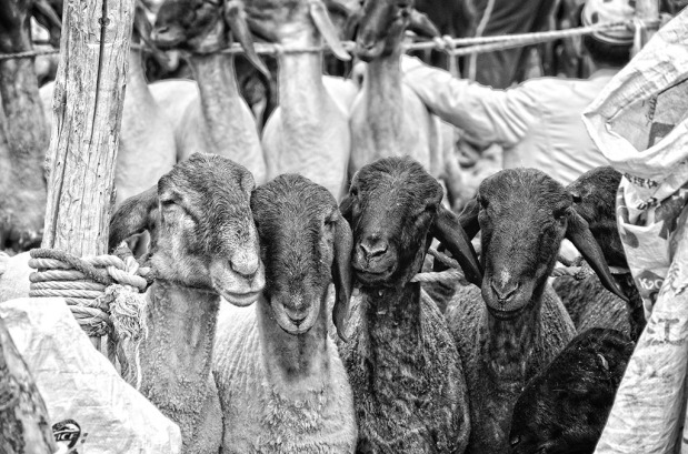 Documentary Photography – Kashgar Livestock Market, China