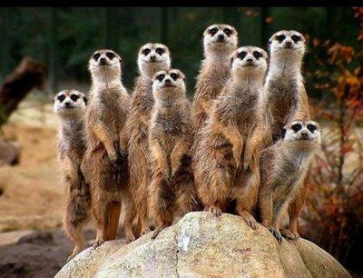 Resultado de imagen para suricatas